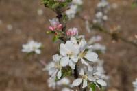 apple-starks-earliest-flower-002.jpg