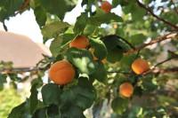 apricot-nancy-004.jpg