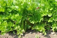 celery-golden-self-blanching-001.jpg