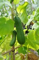 cucumber-la-diva-002.jpg