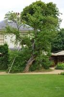 downe-house-mulberry-tree-003.jpg