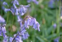 hyacinthoides-non-scripta-001.jpg