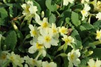 primula-vulgaris-002.jpg