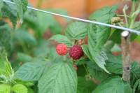 raspberry-autumn-bliss-004.jpg