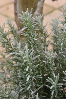 rosemary-frosted-001.jpg