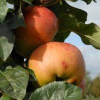 sq-apple-annie-elizabeth-001.jpg