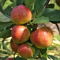 sq-apple-starks-earliest-001.jpg