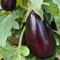 sq-aubergine-black-beauty-002.jpg