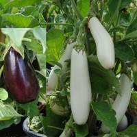 sq-aubergine-black-white.jpg