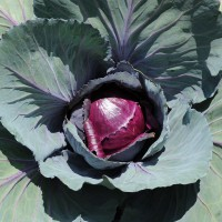 sq-cabbage-red-001.jpg