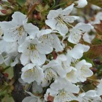 sq-cherry-early-rivers-flower-001.jpg