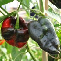 sq-chilli-pepper-ancho-001.jpg