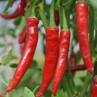 sq-chilli-pepper-cayenne-red-002.jpg
