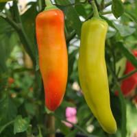 sq-chilli-pepper-hungarian-hot-wax-005.jpg
