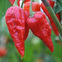 sq-chilli-pepper-naga-morich-001.jpg