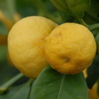 sq-citrus-sweet-lemon-002.jpg
