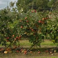 sq-cordon-apples.jpg