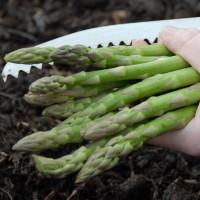 sq-cutting-asparagus-007.jpg