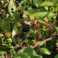 sq-elderberry-wild-and-bramble-001.jpg