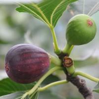 sq-fig-violette-de-bordeaux-001.jpg