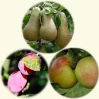 sq-fruit-tree-favourites.jpg