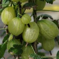 sq-gooseberry-invicta-004.jpg