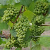 sq-grape-vine-chardonnay-007.jpg