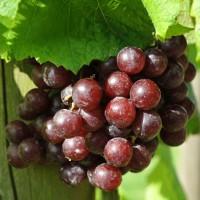 sq-grape-vine-flame-001.jpg