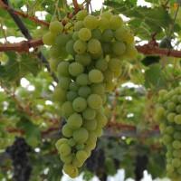 sq-grape-vine-muscat-d-alexandria-006.jpg
