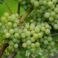 sq-grape-vine-phoenix-003.jpg