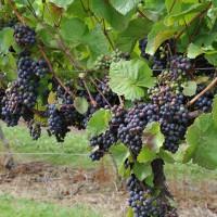 sq-grape-vine-rondo-008.jpg