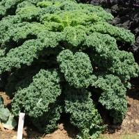 sq-kale-dwarf-green-curled-002.jpg