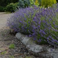 sq-lavandula-angustifolia-001.jpg