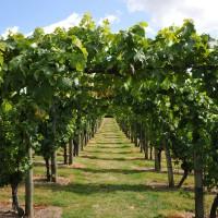 sq-leeds-castle-vineyard-002.jpg