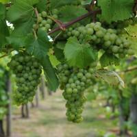 sq-leeds-castle-vineyard-009.jpg