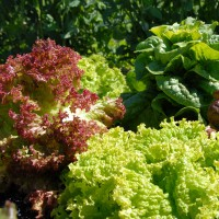 sq-lettuce-mixed-002.jpg