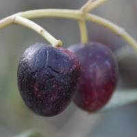 sq-olive-003.jpg