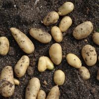 sq-potato-forest-gold-001.jpg