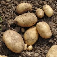 sq-potato-international-kidney-002.jpg