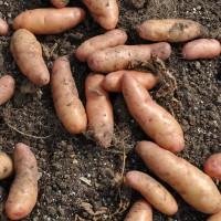 sq-potato-pink-fir-apple-001.jpg