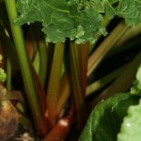 sq-rhubarb-victoria-002.jpg