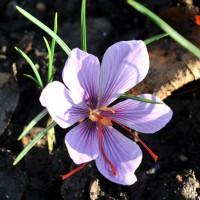 sq-saffron-crocus-001.jpg