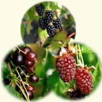 sq-thornless-berry-collection.jpg