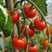 sq-tomato-gardeners-delight-001.jpg