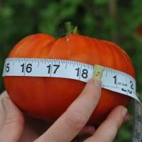 sq-tomato-giant-delicious-009.jpg
