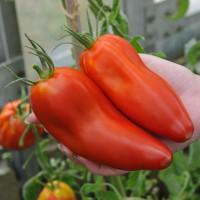sq-tomato-harrys-plum-003.jpg