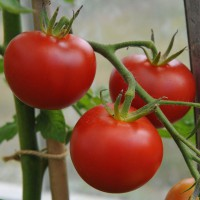 sq-tomato-shirley-003.jpg