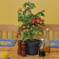 sq-tomato-tiny-tim-005.jpg