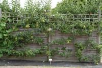 wisley-espalier-pear-001.jpg