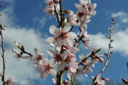 almond-robijn-flower-003.jpg
